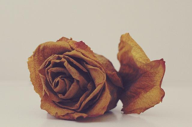 Zwiędła róża